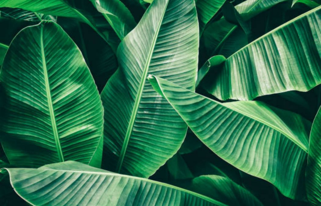 5 Unbelievable Beauty Benefits of Banana Leaves For Your Hair And Skin