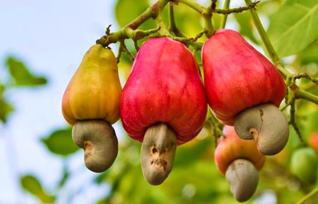 8 Super Powerful Health Benefits of The Lesser Known Cashew Fruit