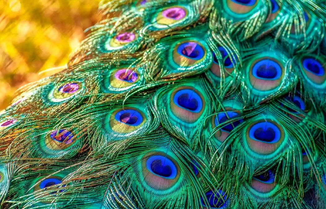 8 Phenomenal Benefits of Keeping Peacock Feathers At Home